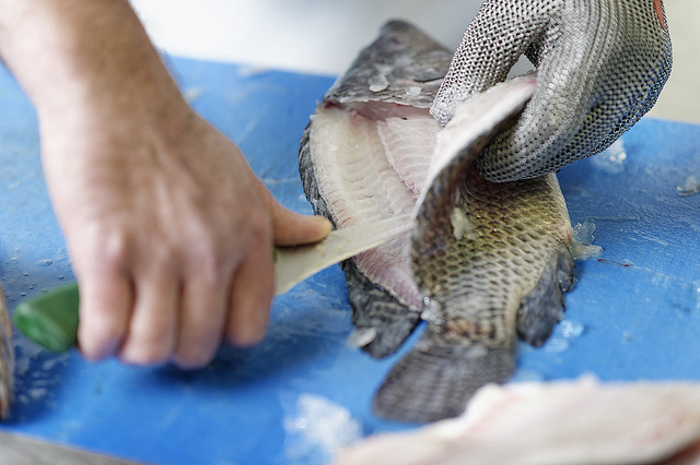 fileren Tilapia